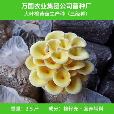 广西特产榆黄菇