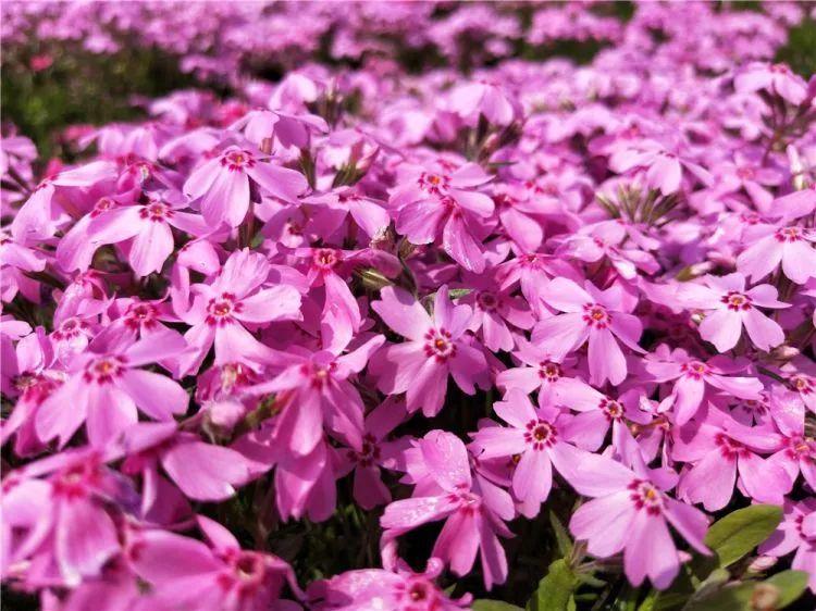 南阳芝樱|高质量的芝樱孟振花卉供应