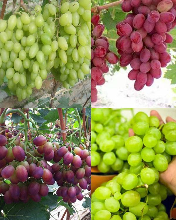 巨澤葡萄-在哪能買到易成活的葡萄苗