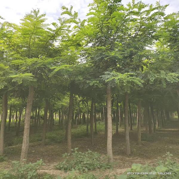 青州刺槐基地-买刺槐找志超花卉苗木