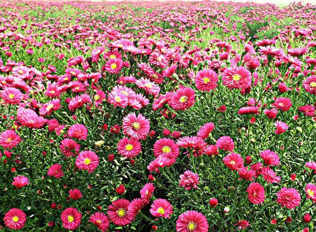 河北荷蘭菊(風過竹生香 )荷蘭菊價格--青禾