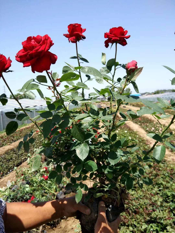 大花蔷薇批发-山东大花蔷薇-哪里有大花蔷薇