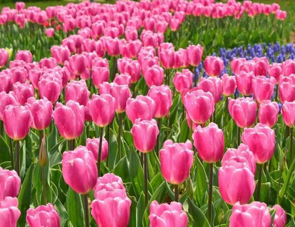 求购绿化用个的郁金香——郁金香基地