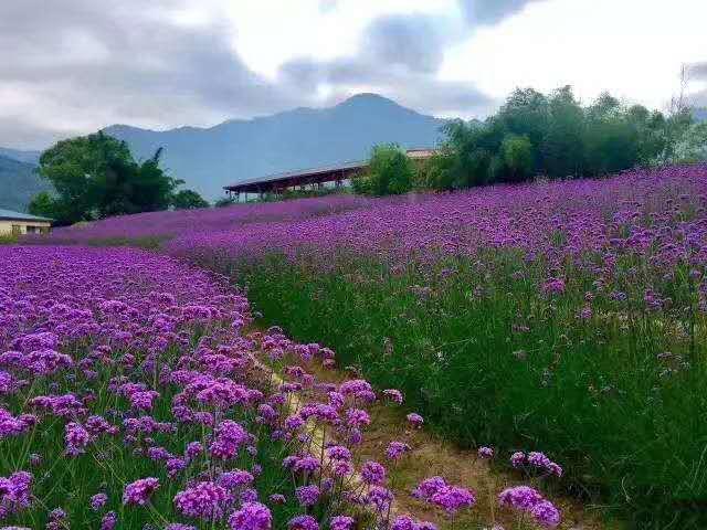 陕西马鞭草基地|供应潍坊质量好的马鞭草