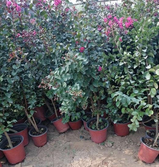 天鵝絨紫薇供應-濰坊天鵝絨紫薇哪里有-濰坊天鵝絨紫薇哪里賣