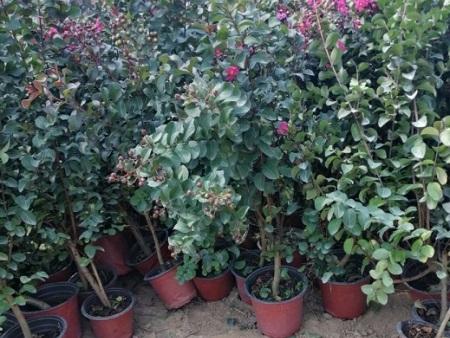 天鹅绒紫薇供应-潍坊天鹅绒紫薇哪里有-潍坊天鹅绒紫薇哪里卖