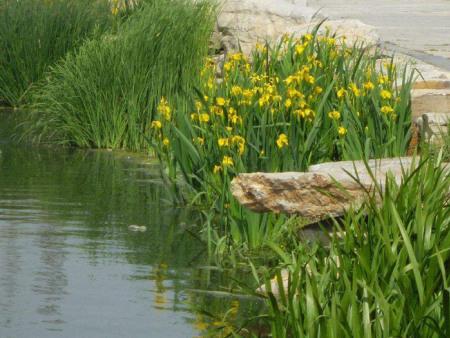 水生鸢尾种植基地//水生鸢尾哪家好