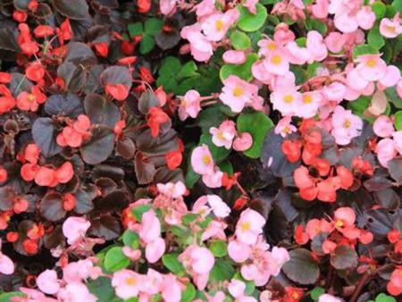 四季海棠种植基地//四季海棠哪家好