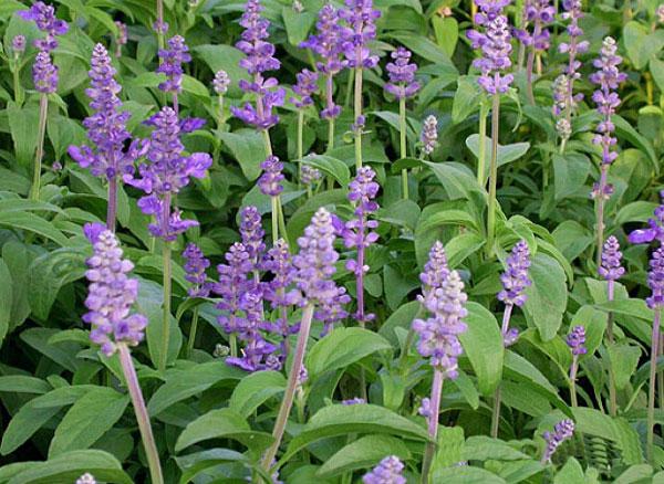 鼠尾草批发-价格实惠的鼠尾草就在孟振花卉
