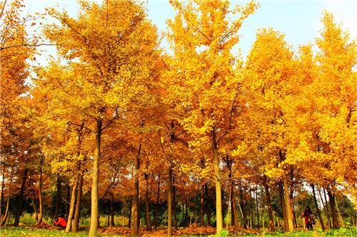 银杏树供货商-湖北银杏树-河南银杏树