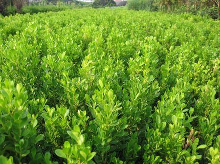 瓜子黄杨种植,瓜子黄杨价格,瓜子黄杨供应