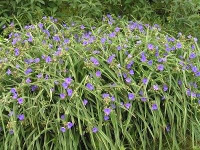 紫露草供应基地