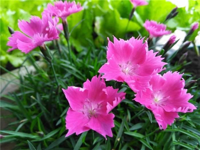 歐石竹基地|品質好的歐石竹花海當選永軍花卉