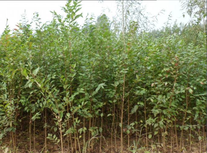 白榆种子批发-边坡绿化榆树种子厂家哪里有-推荐宁夏上谷农牧业
