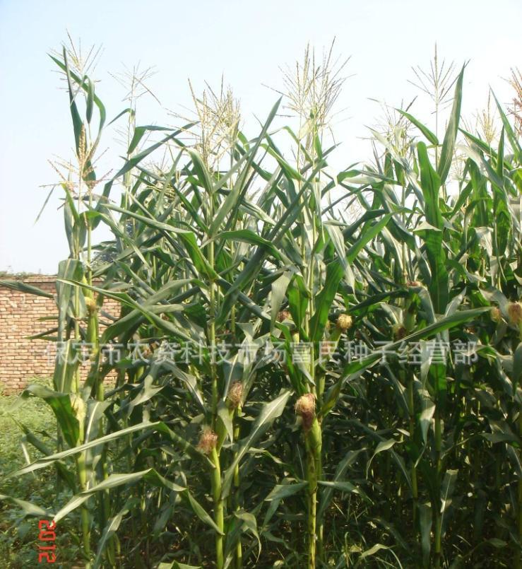 安徽黑玉米種子批發-河北黑玉米種子供應商
