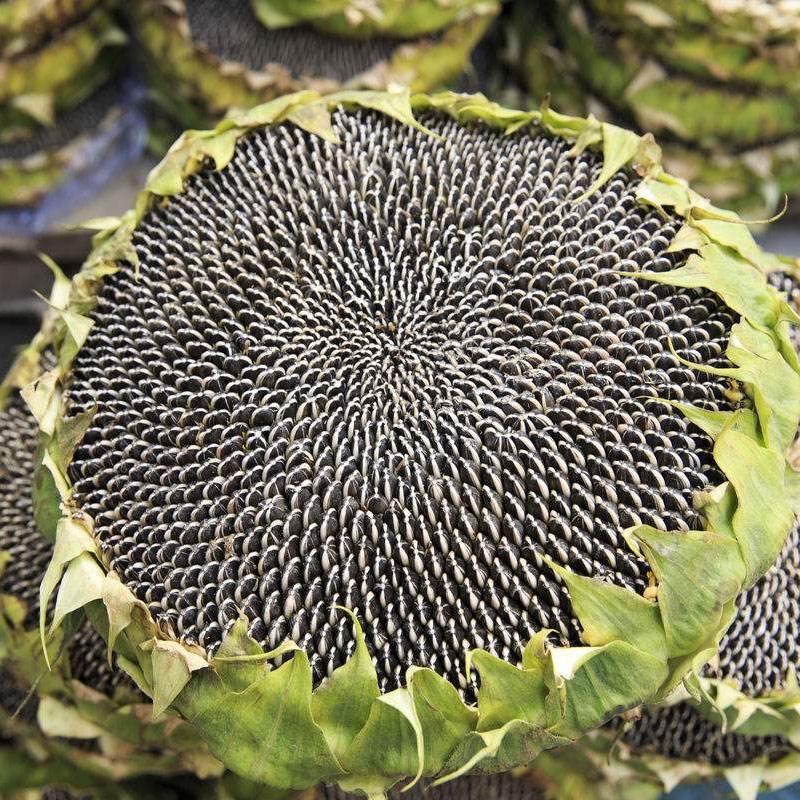 江西向日葵種子批發|保定向日葵種子批發