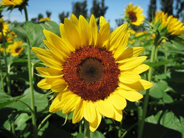 湖南向日葵种子批发|专业供应优良向日葵种子