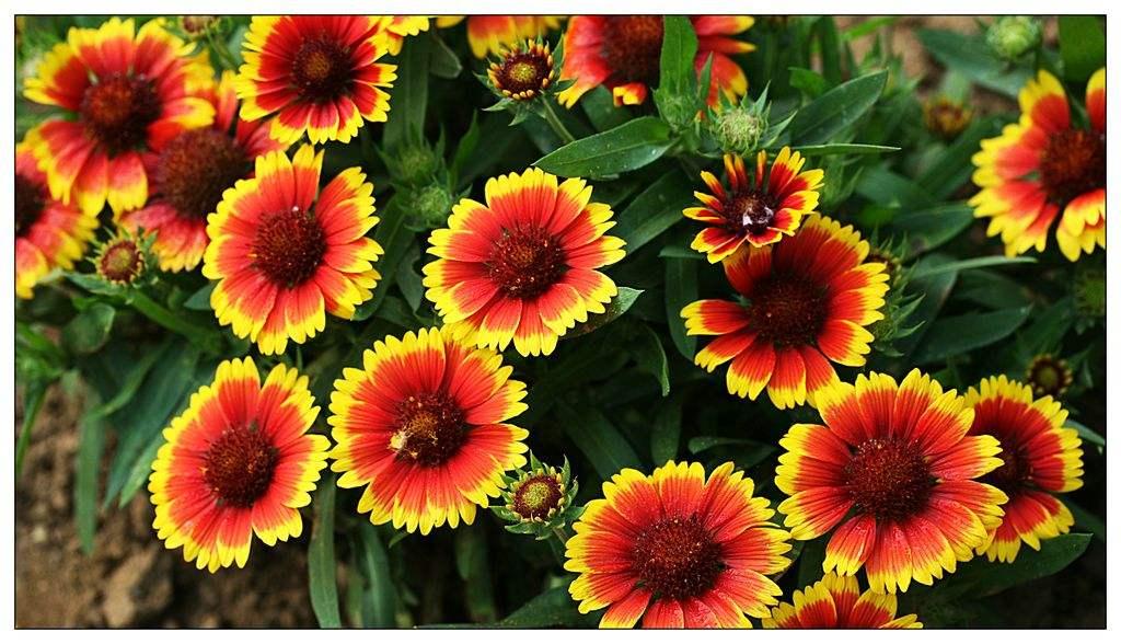 天人菊种植基地-天人菊供应商