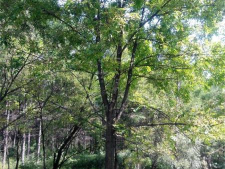 内蒙云杉树苗带您了解一下春季苗木养护管理