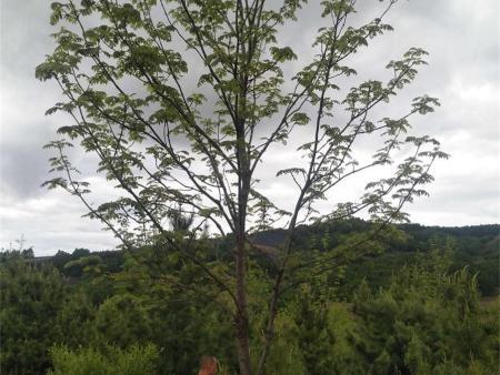 营口丛生水曲柳批发-哪里能买到划算的丛生水曲柳