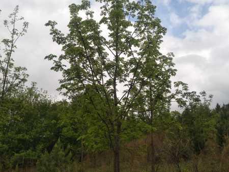 内蒙红松树苗种植管理中,掌握病虫害的防治技术,促进红松健康生长