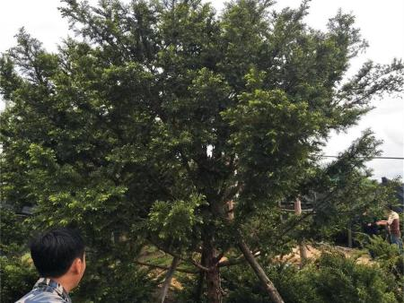 黑河五角枫树苗怎么种植才好?
