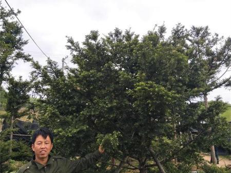 黑河五角枫树苗的未来市场怎样?