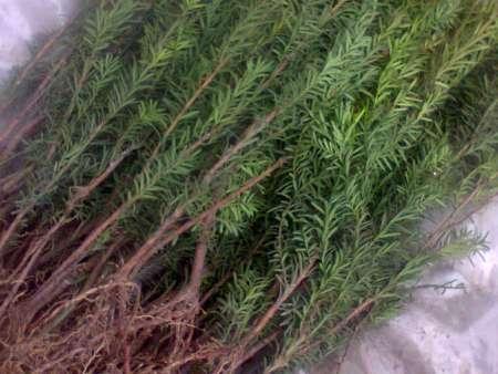 内蒙红松树苗带您了解一下红松幼苗培育过程中的立枯病分析