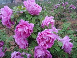 四季玫瑰哪家好,四季玫瑰种植基地,四季玫瑰价格