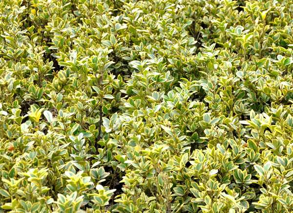 金边冬青基地,金边冬青种植基地,金边冬青种植