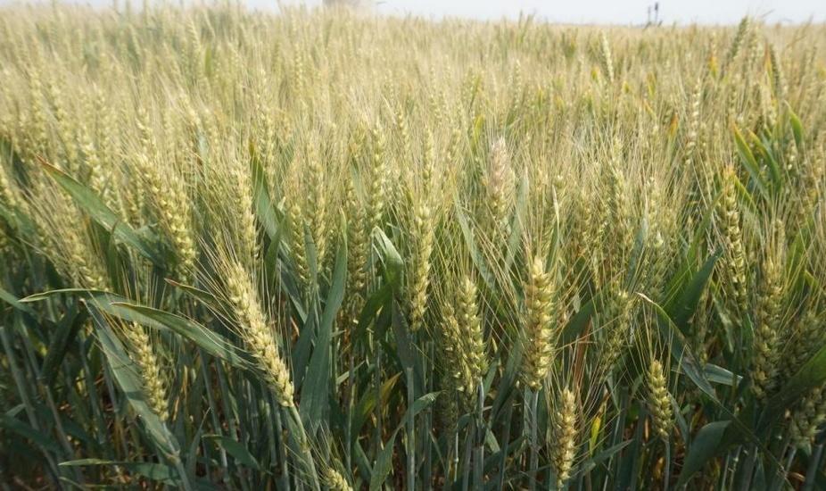 陕西春小麦种子_要买春小麦种子就到富民种子经营部