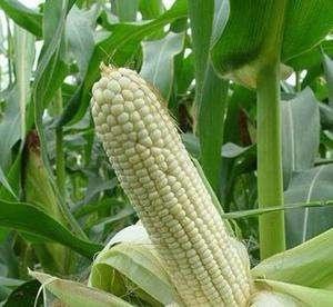 廣西糯玉米種子_春小麥種子認準富民種子經營部