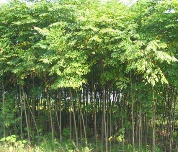 甘肃绿化苗木,兰州苗木基地,甘肃苗木基地 认准榆中双营苗木