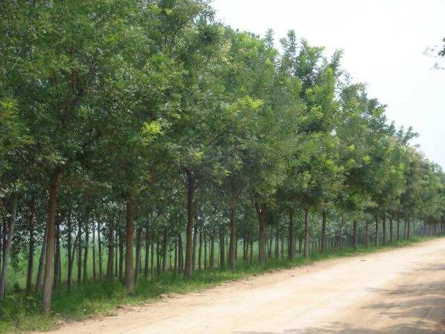 兰州绿化苗木基地直销|金昌大颗粒李子苗木基地
