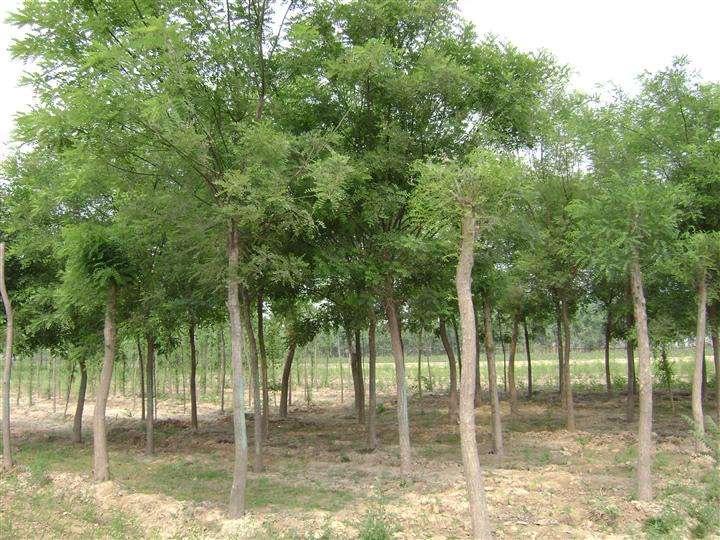 兰州大颗粒李子苗木批发|供应甘肃无病虫害的绿化苗木