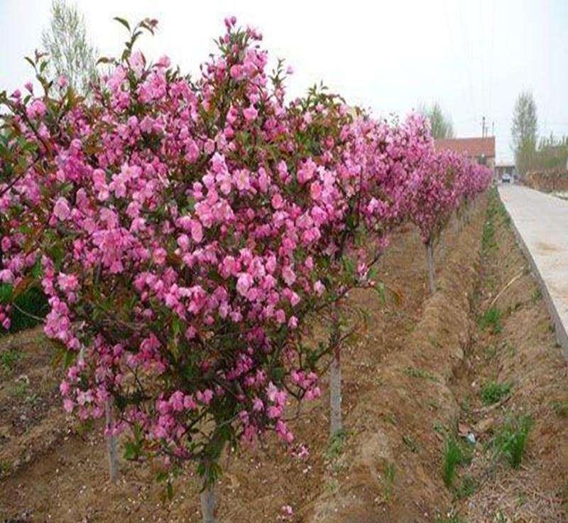 酒泉日本海棠苗木批发-兰州专业的绿化苗木基地