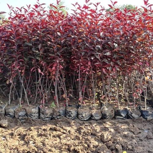 规模大的绿化苗木基地就是榆中双营苗木种植,丁香苗木批发