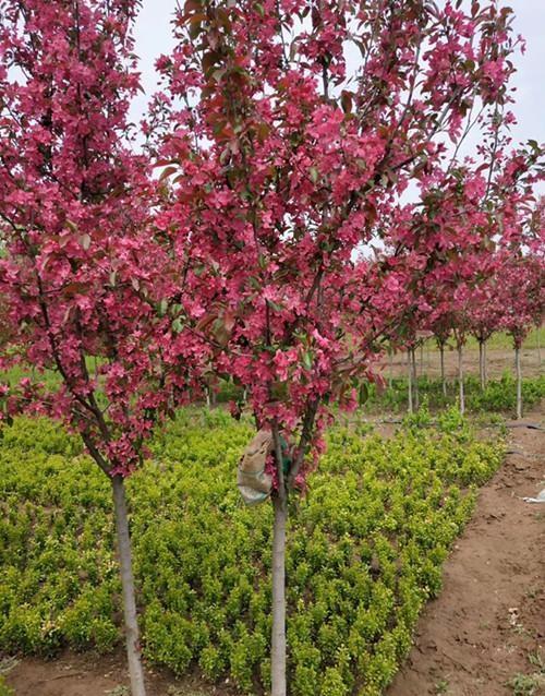 【花式打卡】濰坊紅寶石海棠-紅寶石海棠多少錢?景森綠化苗木