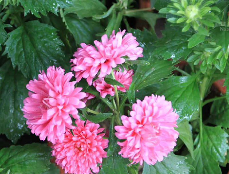 翠菊批发价格,翠菊培育,翠菊种植