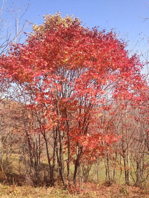 沈阳拧筋槭-选购拧筋槭就来宽甸满族自治县鑫兴苗木繁育基地