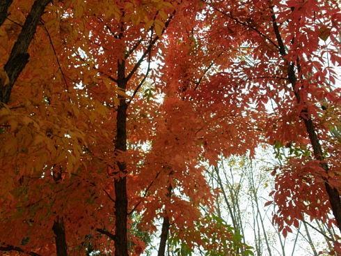 拧筋槭苗哪家好-呼伦贝尔拧筋槭苗木-通辽拧筋槭苗木