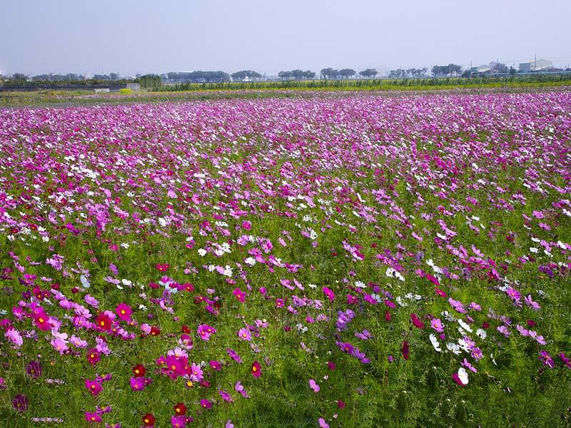 高性价比花卉种子多少钱-为您推荐质量好的波斯菊