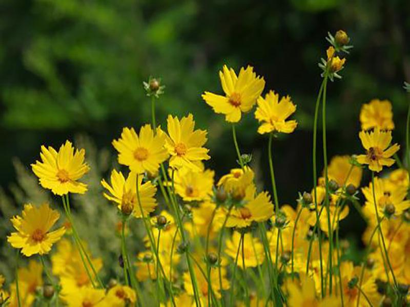 青海批售青海金雞菊種子購買-為您推薦質量好的青海金雞菊種子