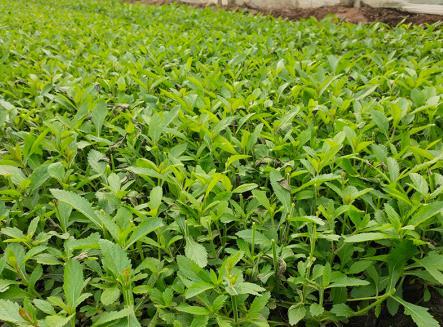 马鞭草种植基地(当季推荐) 马鞭草价格--伟达