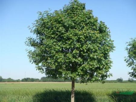 实惠的苗木出售