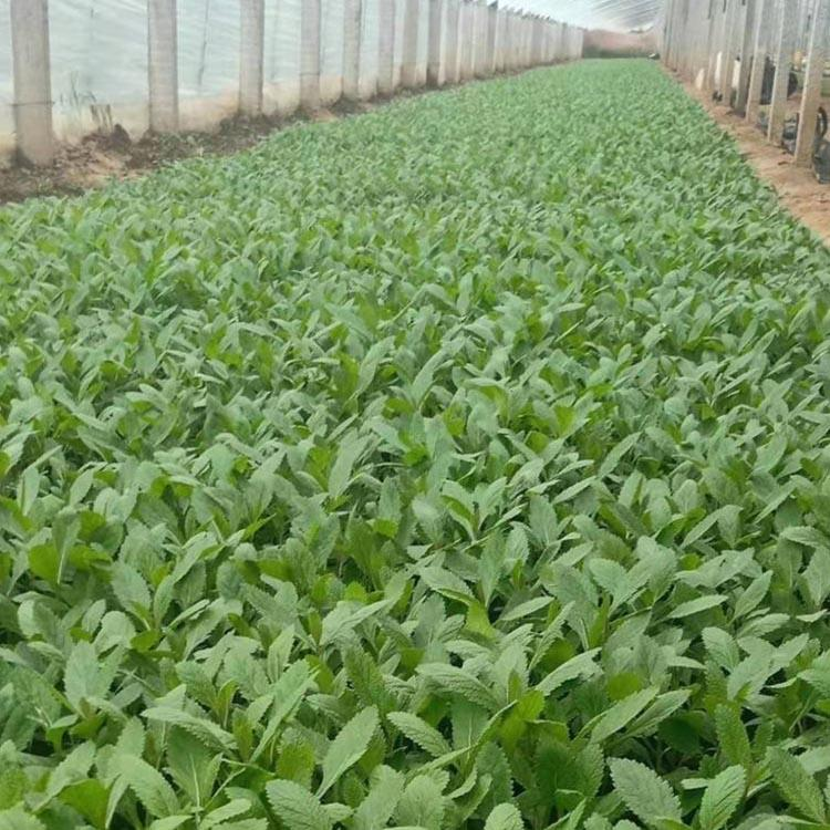 柳叶马鞭草,柳叶马鞭草哪里卖,柳叶马鞭草供应商