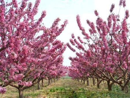 潍坊绚丽海棠供应商|绚丽海棠哪里有|景森花卉|这家很不错!