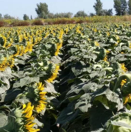 南開矮大頭油葵種子-矮大頭油葵種子批發市場