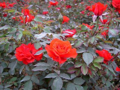 红帽月季哪里有,红帽月季种植基地,红帽月季基地
