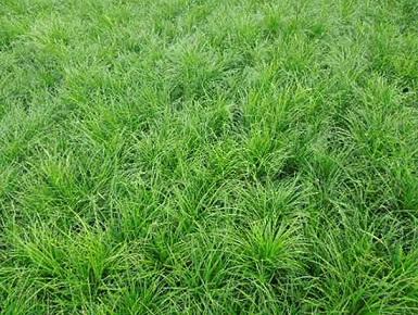 崂峪苔草供应商||崂峪苔草报价